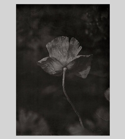 0 The Poppy Flower